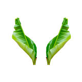 Isolate the banana leaf. with clipping path. two leaf. Isolate the banana leaf. with clipping path Stock Photo