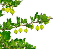 Isolate branches gooseberry on a white background Stock Image