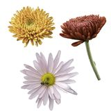Isolate chrysanthemum flowers of different colors on a white background royalty free stock photography