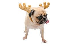 Isolate close-up face of puppy pug dog tongue sticking out wearing Reindeer antlers for christmas and new year party with clipping Stock Images