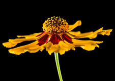 Isolate Coreopsis Royalty Free Stock Photos