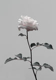 Isolate flower, pink rose in black and white contrast. Symbol of peace, calm and serenity Stock Image