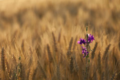 Isolate flower on wheat field Stock Images