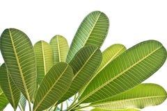 Isolate frangipani leaves Stock Photos