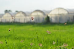 Isolate grass with greenhouse farm background Stock Photo