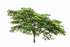 Isolate green trees, branches, spread out shade on a white background. royalty free stock image