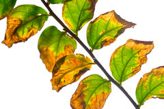 The isolate green and yellow leaf stock photography