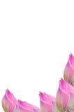 isolate lelui menchii słodki tajlandzki wodny biel Zdjęcia Stock