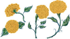 Isolate marigold flower vector. Hand drawn isolate marigold flower vector Royalty Free Stock Photography
