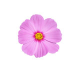 Isolate pink cosmos  flower. Isolate pink cosmos   flower on white background Royalty Free Stock Images