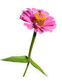 Isolate pink flower zinnias Royalty Free Stock Photo