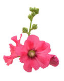 Isolate pink hollyhock Stock Photo