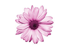 Isolate purple flower on white background Royalty Free Stock Image