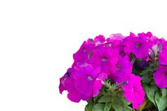 Isolate Purple flowers royalty free stock photography