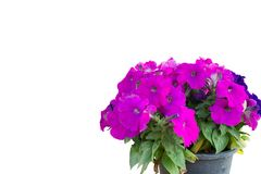Isolate Purple flowers royalty free stock image