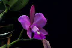 Isolate purple orchid flower. Beautiful purple orchid flowers. Macro lens. Close up Stock Photo