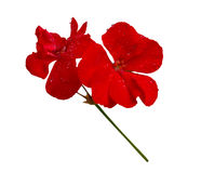 Isolate the red flower of geranium. Isolate the red of the geranium flower with small water drops on the petals Royalty Free Stock Photography