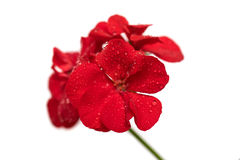 Isolate the red flower of geranium. Isolate the red of the geranium flower with small water drops on the petals Stock Photos