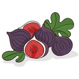 Isolate ripe figs or fig fruits. On white background. Close up clipart with shadow in flat realistic cartoon style. Hand drawn icon Royalty Free Stock Image