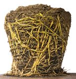 Isolate roots in potted soil. Stock Photo