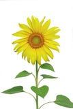 isolate słonecznik Zdjęcia Stock