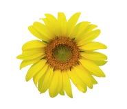 isolate słonecznik Obraz Stock
