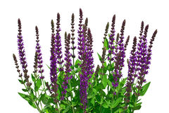Isolate sage on a white background Royalty Free Stock Photos