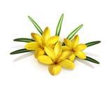 Isolate. three yellow crocus isolated Stock Images