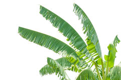 Isolate the top of the banana trees Royalty Free Stock Photo