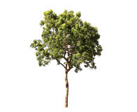 Free Isolate Tree Royalty Free Stock Images - 90994129