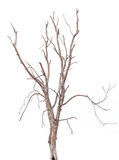 Isolate tree dies. Royalty Free Stock Photo