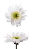 Isolate two white chrysanthemum flowers Stock Photos