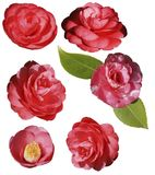 Isolate on a white background of flowers of pink Camellia. royalty free stock photos