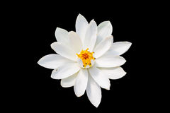 Isolate white lotus or white water lily Royalty Free Stock Photos