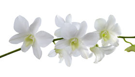 Isolate white orchids Stock Photography