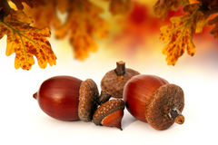 Isolated abstract acorns Stock Images