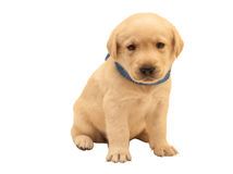 Isolated adorable labrador puppy. Isolated yellow adorable labrador puppy on white background Stock Photo