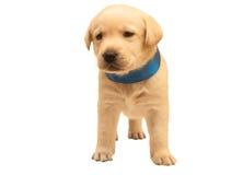 Isolated adorable labrador puppy. Isolated yellow adorable labrador puppy on white background Stock Photos