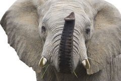 Isolated African Elephant Royalty Free Stock Photo