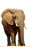 Isolated African Elephant Bull (loxodonta africana. ) stock image