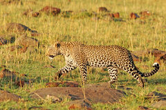 An Isolated African Leopard walking across the savannah in the Masai Mara Royalty Free Stock Photos