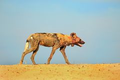 Isolated African Wild Dog walking along a sandbank with a clear blue sky in south luangwa national park, Zambia Royalty Free Stock Photo