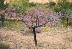 Isolated almond tree Royalty Free Stock Photography