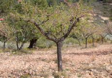 Isolated almond tree Stock Photography