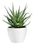 Isolated Aloe Vera Plant on White Pot. Succulent Aloe Vera Plant on White Pot Isolated on White Background royalty free stock photo