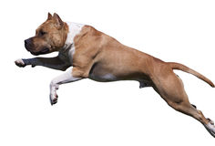 Isolated American Staffordshite Terrier Stock Photos