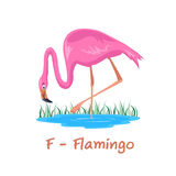 Isolated animal alphabet for the kids,F for Flamingo Stock Photography