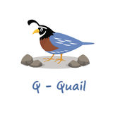 Isolated animal alphabet for the kids,Q for Quail Royalty Free Stock Photos