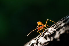 Isolated Ant Stock Image