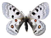 Isolated Apollo butterfly royalty free stock images